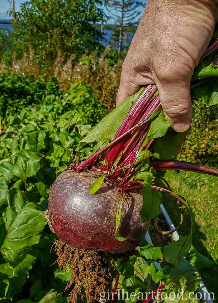 A fresh beet being held up after being harvested from the ground.