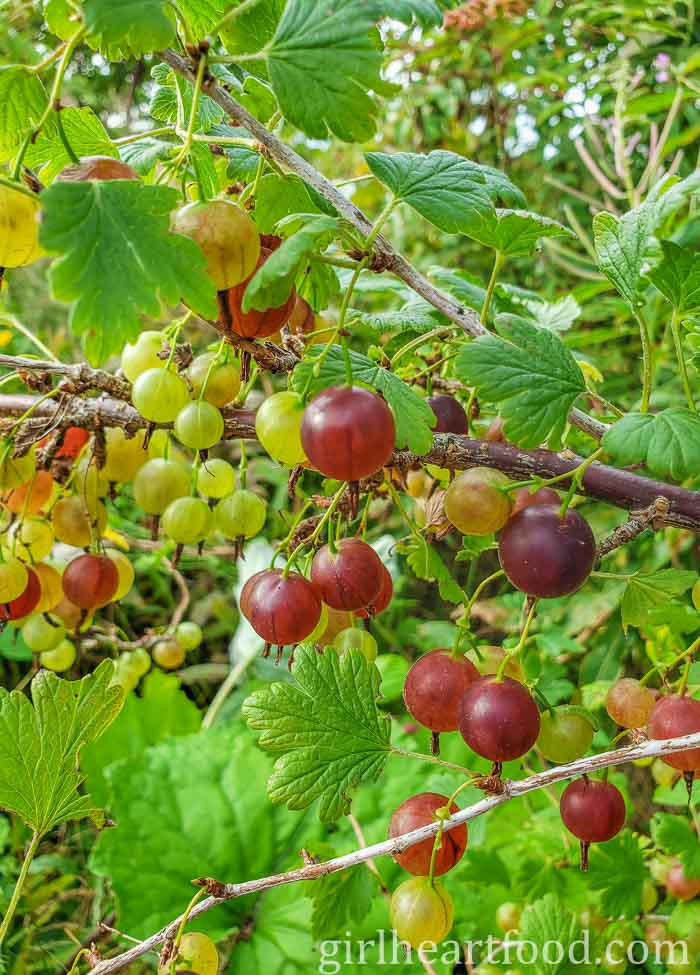 Fresh gooseberries on the branch.