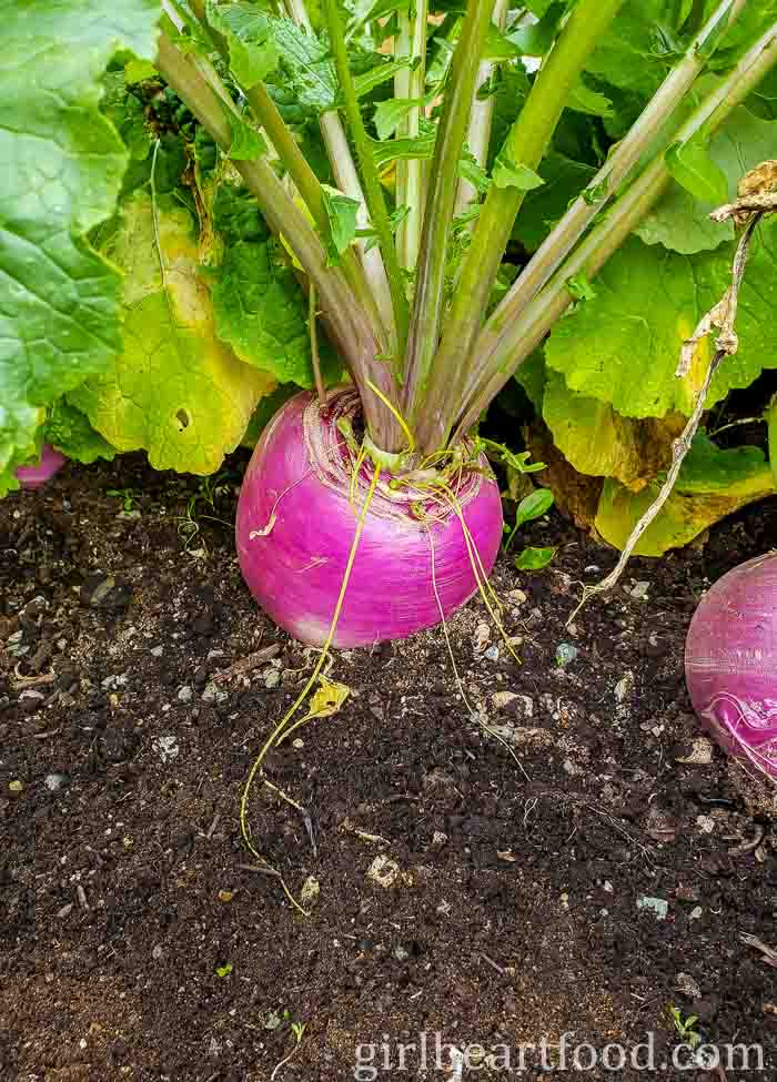 A fresh turnip growing in the ground.