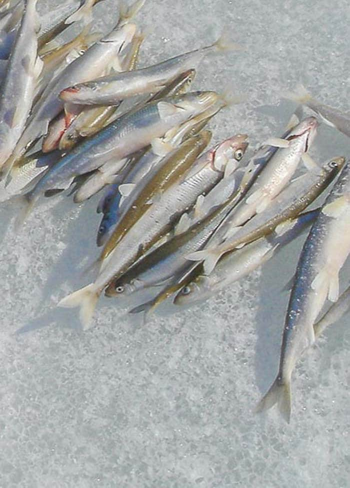 Whole smelt fish on ice.
