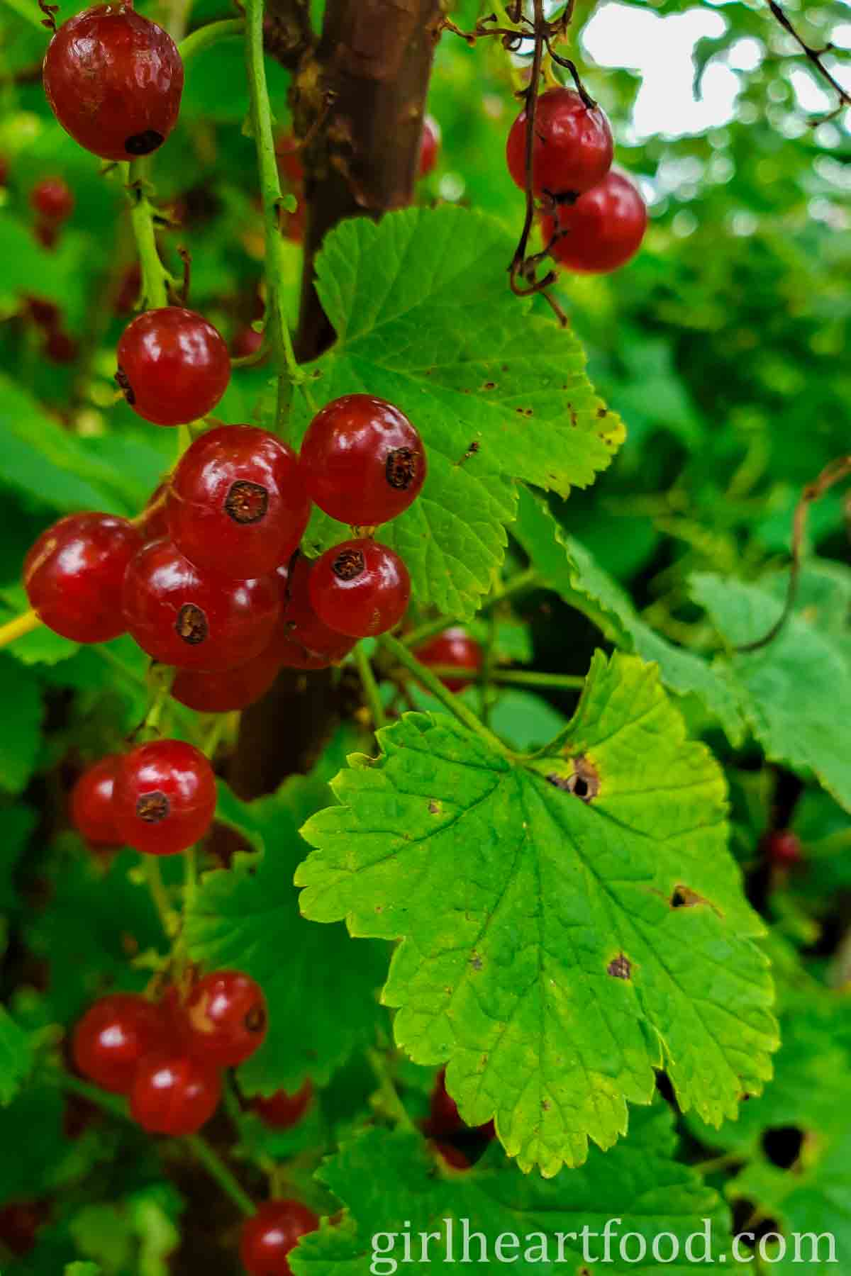 Red currants on a bush.