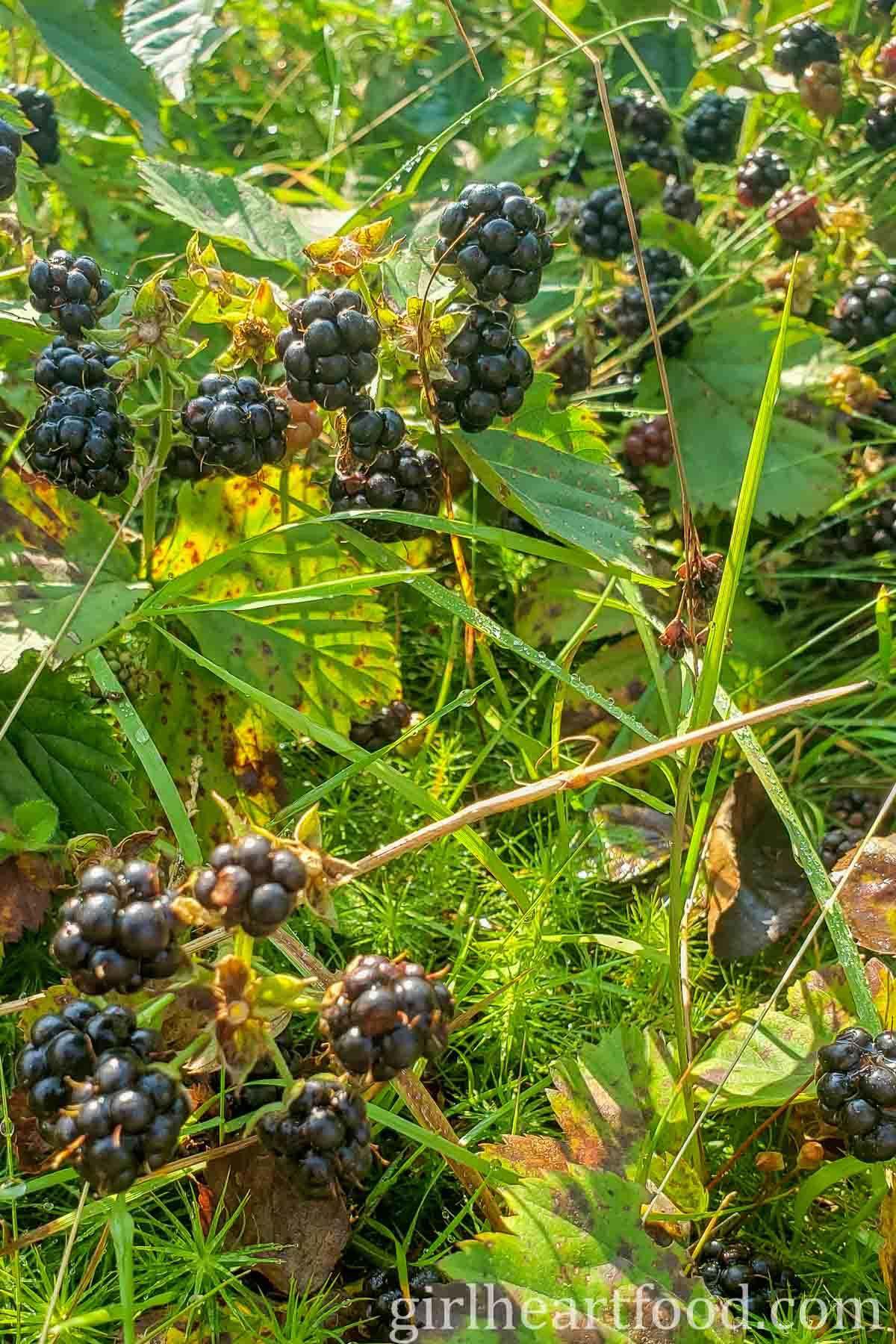 Wild blackberries on a bush.
